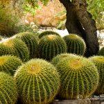 Cacti, Boyce Thompson Arboretum