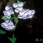 Virginia Bluebell (Mertensia virginica)