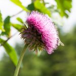 Nodding Thistle (Carduus nutans)
