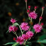 Tall Ironweed (Vernonia altissima)