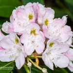 Great Rhododendron (Rhododendron maximim)