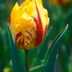 Meadowlark Botanical Garden Tulips